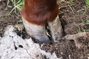 Гнойный артрит коленного сустава у коров