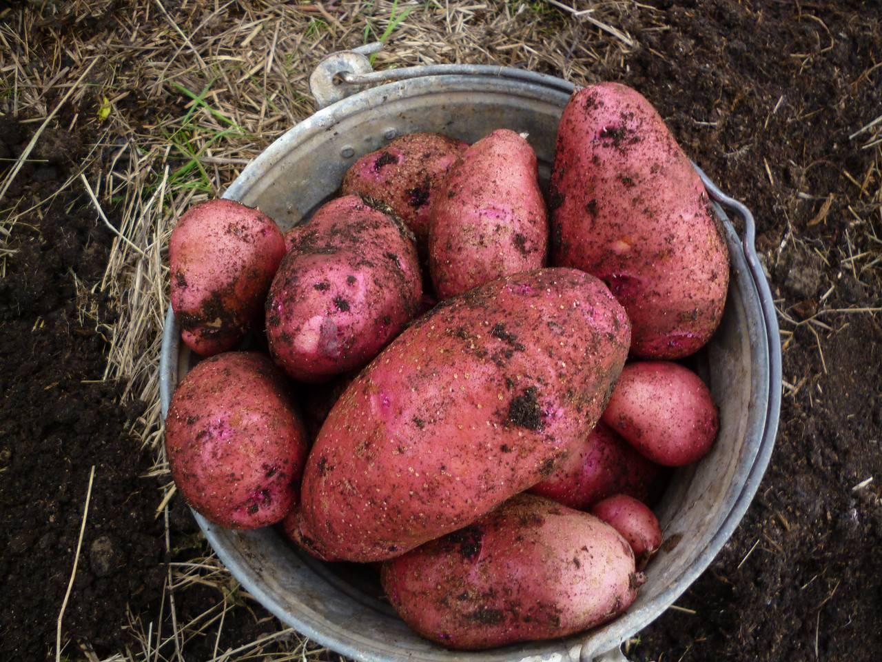 Универсальный сорт картофеля гала: урожайность, неприхотливость, долгое хранение