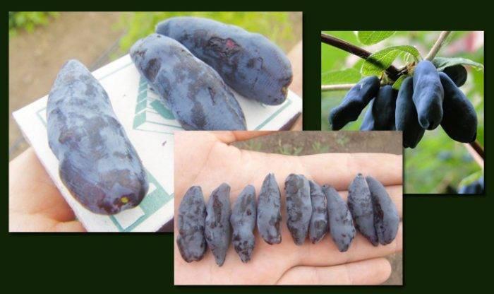 Жимолость съедобная сибирячка — особенности и характеристики