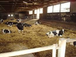 Беспривязное содержание коров: плюсы и минусы, технология кормления и доения