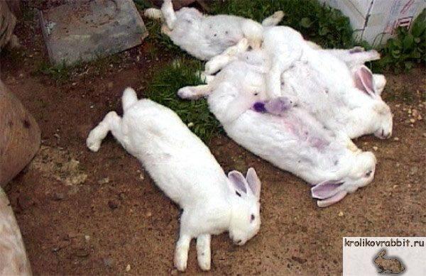 Болезни кроликов — основные симптомы,  варианты лечения и профилактика самых опасных заболеваний (фото и видео)