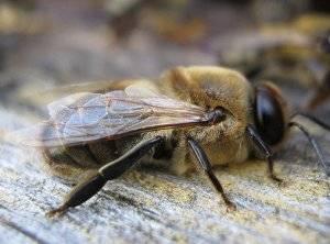 Состав семьи пчел, функции матки, трутня, и рабочих пчел