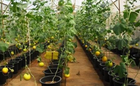 Секреты выращивания арбузов в теплице из поликарбоната