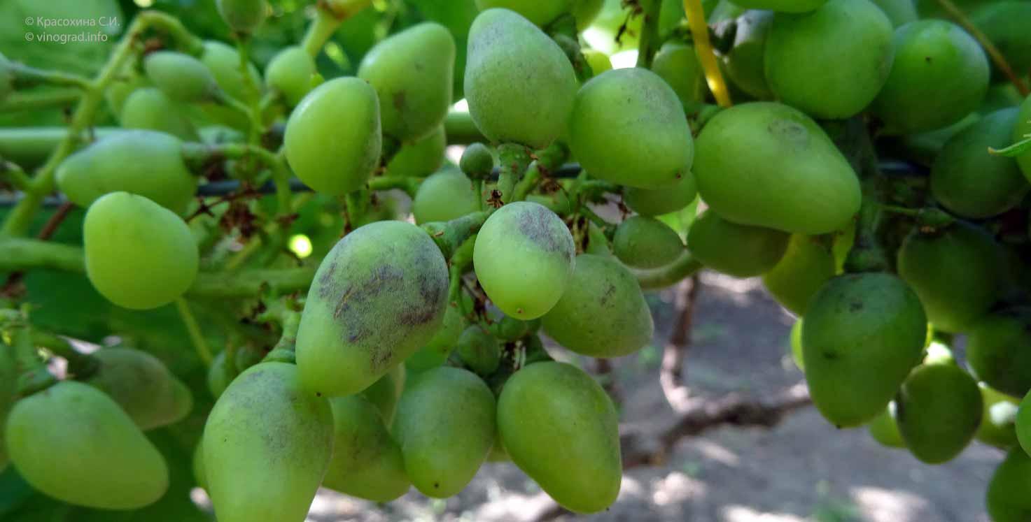 Инструкция по применению фунгицидов для винограда и лучшие препараты