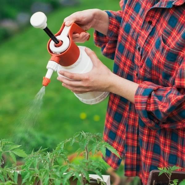 Как бороться с белокрылкой на рассаде томатов