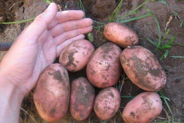 Описание сорта картошки «беллароза»