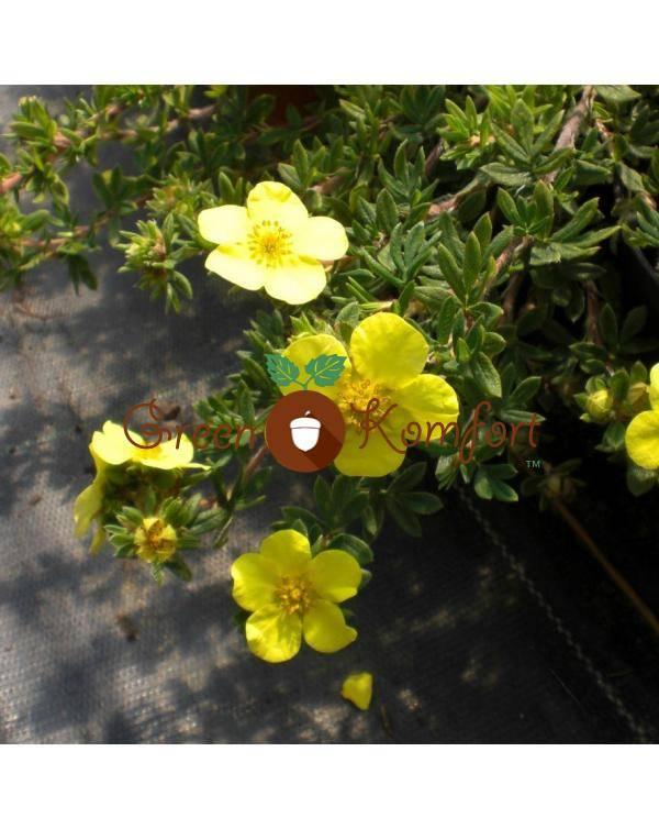 Розовая лапчатка (29 фото): «пинк бьюти», «пинк парадайз» и «пинк квин», выращивание розовой кустарниковой лапчатки