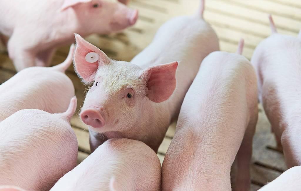 Почему поросята плохо едят? ликбез для начинающих свиноводов.