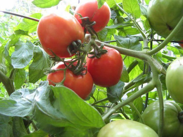Любители томатов про сорт тяжеловес сибири — характеристика и описание