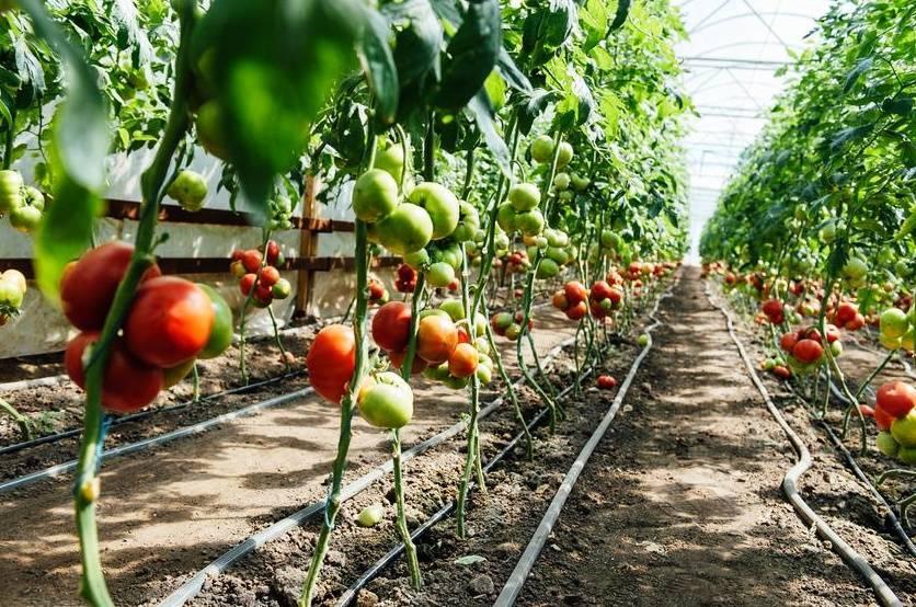 Пасынкование и формирование куста томатов в теплице: схема