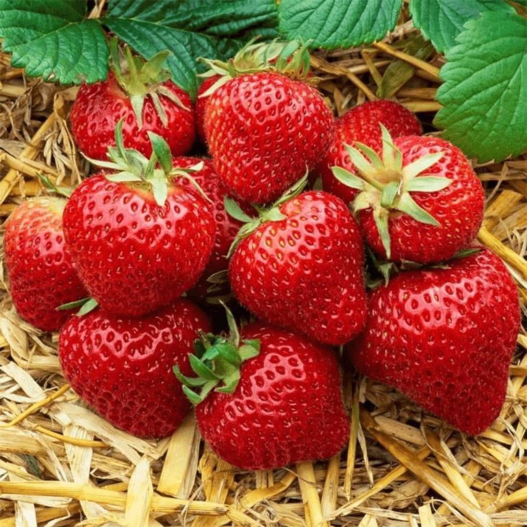 Клубника «хоней»: характеристика сорта, достоинства и недостатки, отзывы садоводов