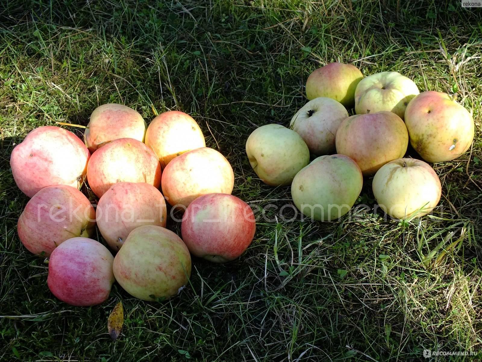 Яблоня «пепин шафранный» — описание сорта, посадка и уход