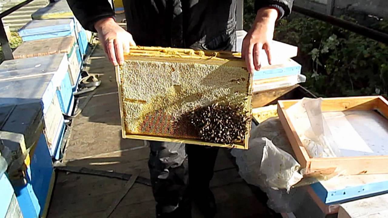 Объединение двух слабых пчелиных семей осенью, в августе