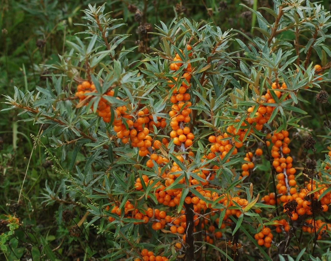 Облепиха солнечная — описание сорта, фото и отзывы садоводов