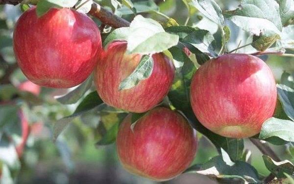 Раннелетняя яблоня малиновка (суйслепское): описание, фото