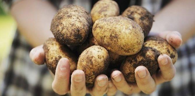 Описание сорта картофеля аврора — как поднять урожайность