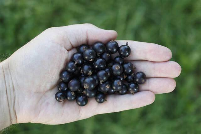 Чёрная смородина ильинка — основные характеристики