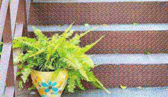 Пышный красавец — папоротник щитовник мужской: фото, виды, уход в домашних условиях