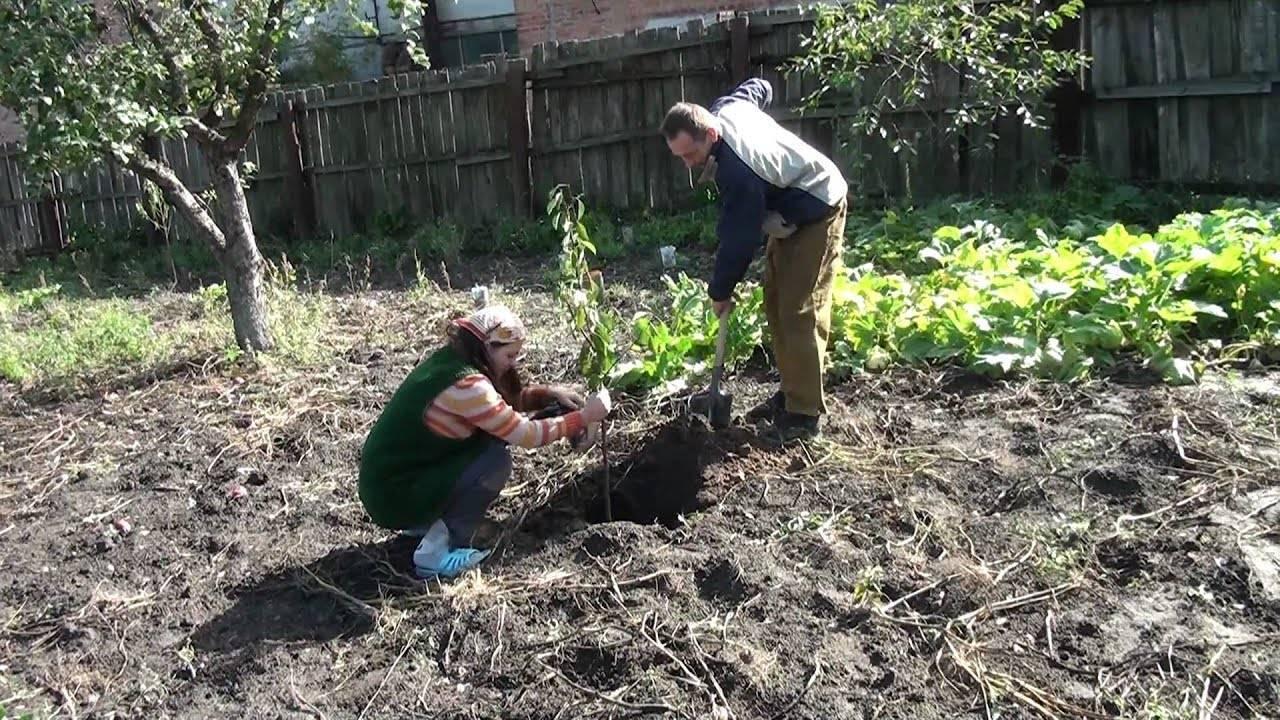 Посадка вишни осенью и весной: когда правильно сажать?