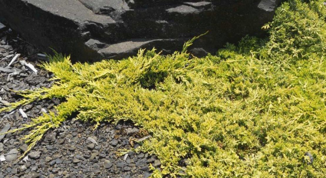 Характеристики и использование можжевельника «голден карпет»: фото + видео