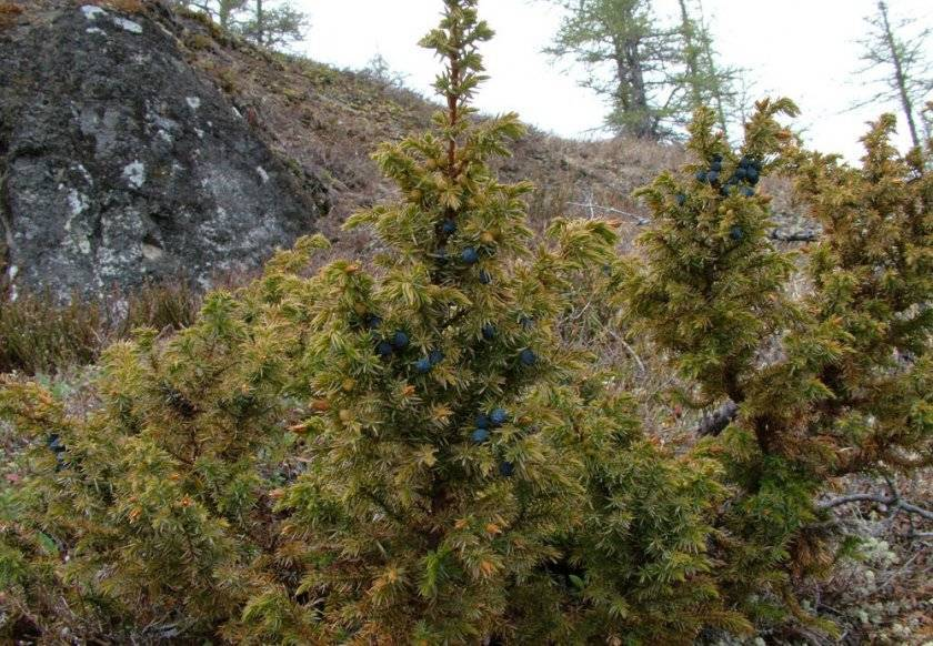 Можжевельник стелющийся (26 фото): можжевельник лежачий «нана» и голубые ползучие виды и сорта. посадка и уход в открытом грунте