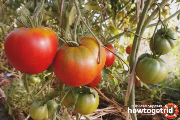 Помидоры Султан F1: отзывы, фото, урожайность
