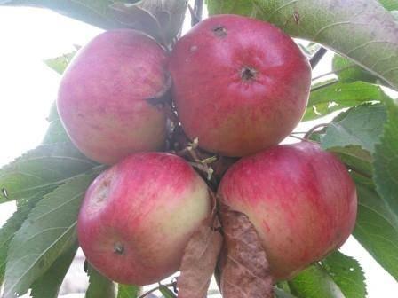 Описание сорта яблоня старкримсон