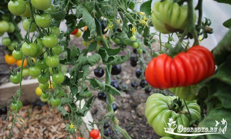 Самые урожайные сорта томатов для теплицы и открытого грунта.