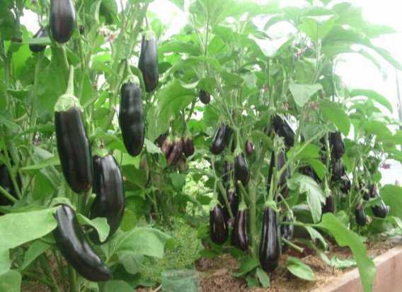 Баклажан – секреты выращивания, популярные сорта