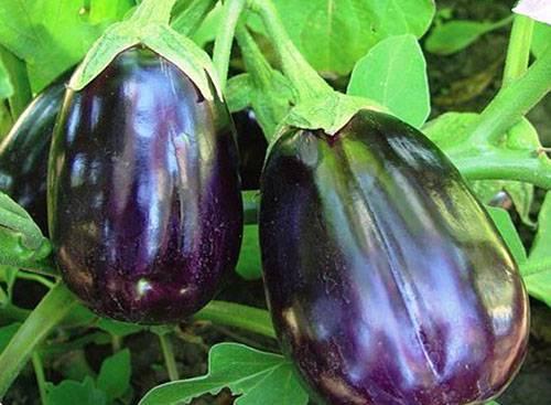 Баклажан черный принц фото. характеристика и описание баклажана «черный принц», уход и выращивание