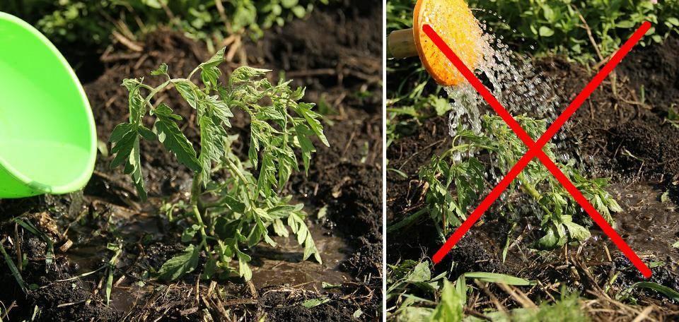 Как правильно поливать томаты в теплице и открытом грунте
