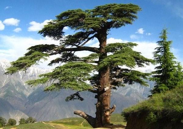 Сосна кедровая: описание, посадка и сравнение с кедром