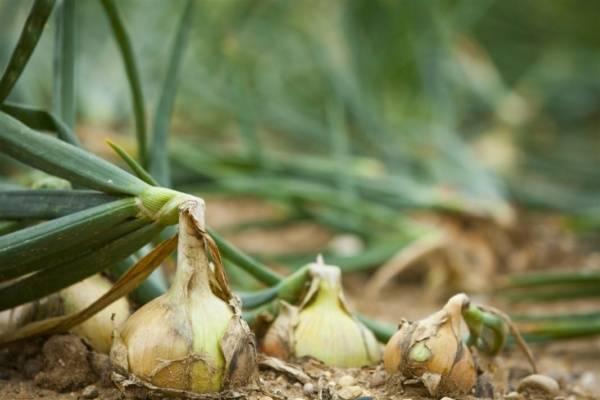 Посадка лука на головку и зелень: как правильно и когда сажать лук-репку, порей, шалот, батун