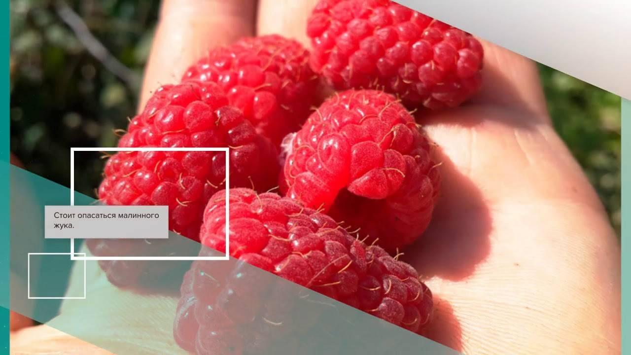 Лучшие сорта малины для сибири. описание, отзывы, фото