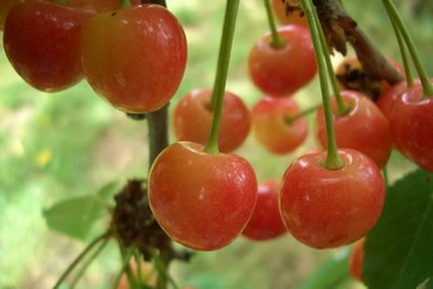 Крупноплодная — вкусная черешня из мелитополя. чем привлекает садоводов этот сорт