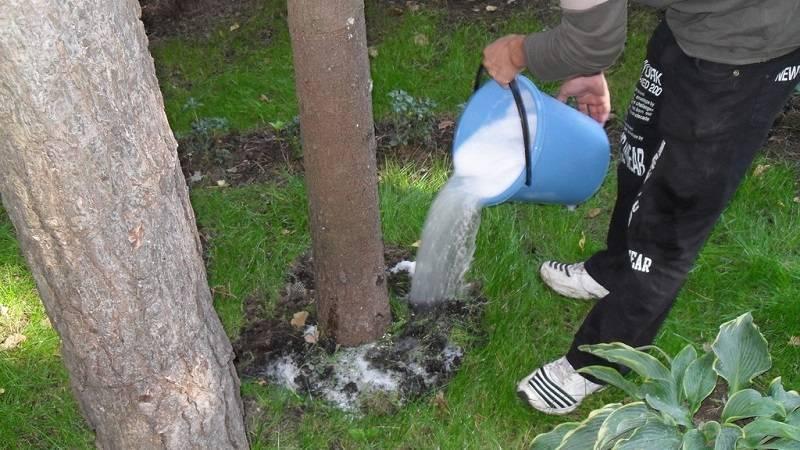 Подкормка груши весной и летом: чем удобрить для высокого урожая