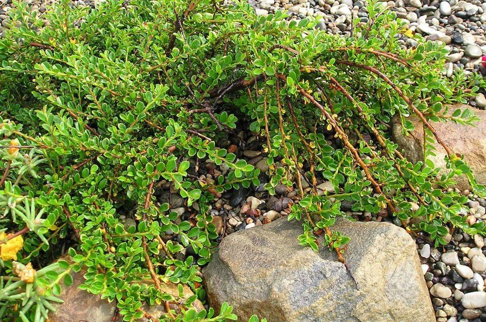 Преобразовываем дачный участок в сад наслаждений, используя популярные виды и сорта кизильника