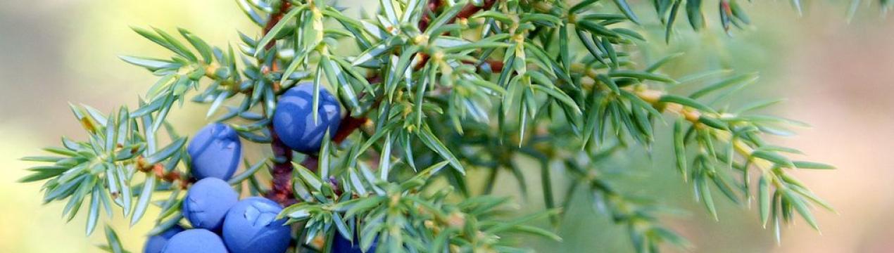 Ягоды можжевельника — полезные свойства и противопоказания