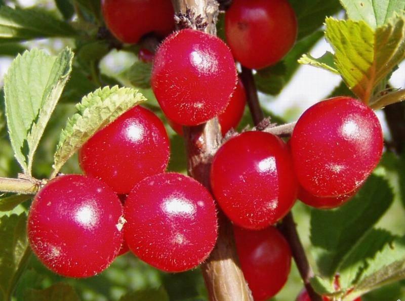 Войлочная вишня в саду – все о посадке, выращивании, обрезке и размножении