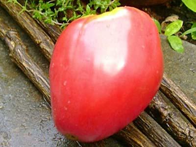 Сорт томата «мишка косолапый»: фото, отзывы, описание, характеристика, урожайность