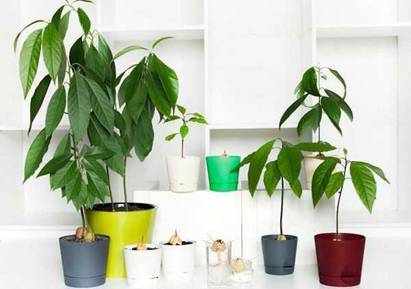 Авокадо темнеют листья. авокадо сохнет, чернеет. почему? как лечить? почему чернеет авокадо