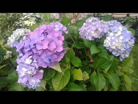 Полив гортензии: как часто поливать в саду, можно ли использовать марганцовку
