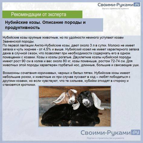 Зааненские козы: описание породы, фото, содержание, кормление и особенности разведения
