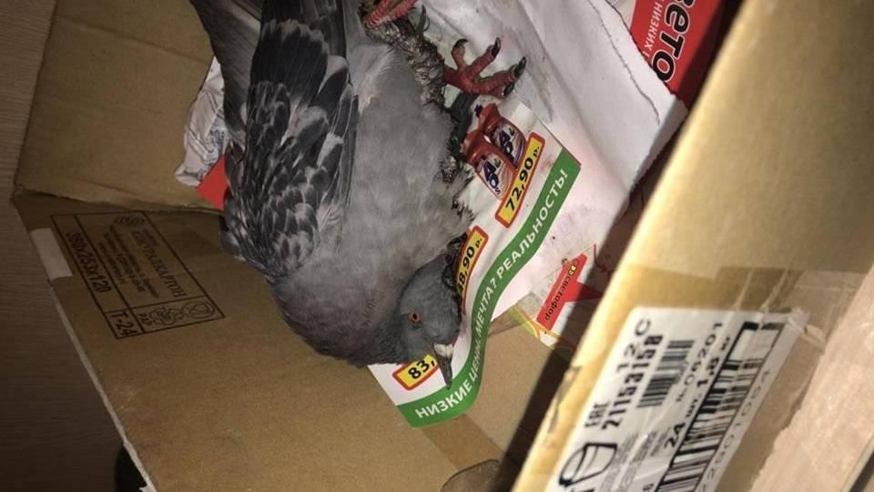 Вертячка у голубей: симптомы и лечение