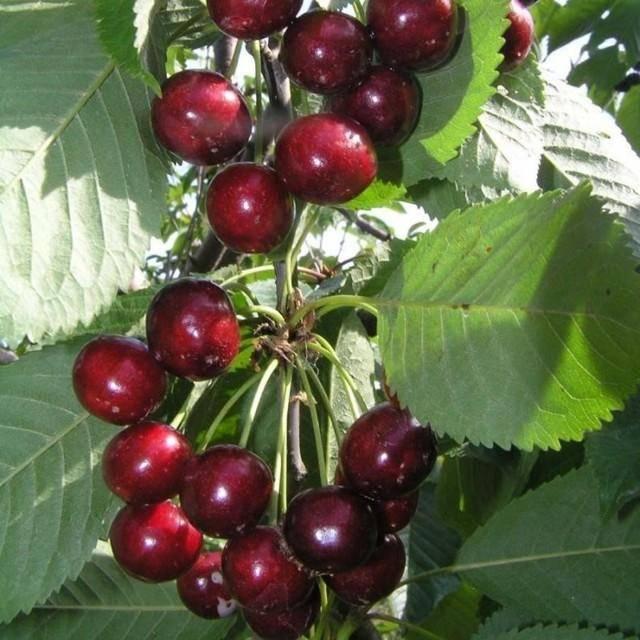 Описание неприхотливого сорта вишни брусницына