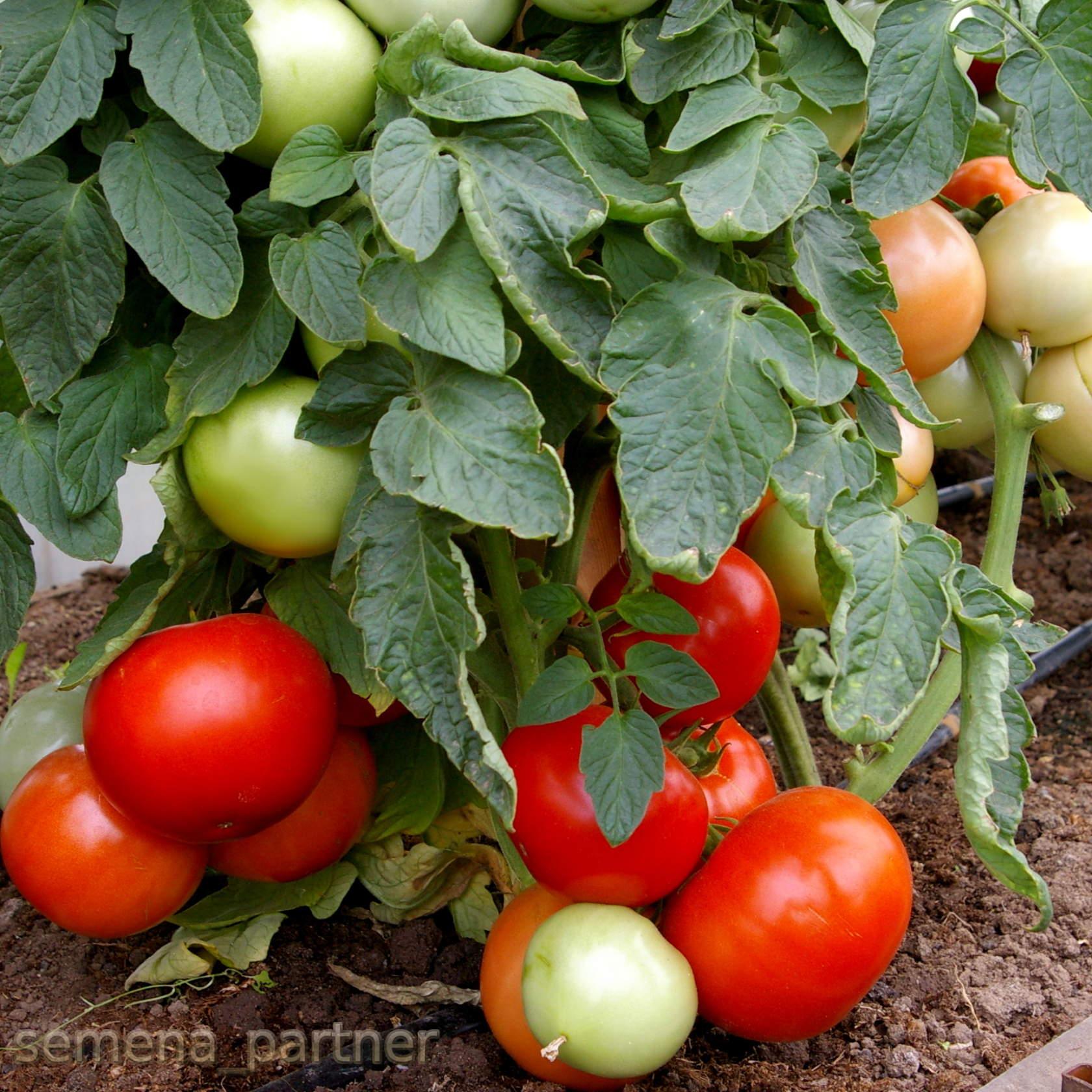 Выращивание томата чухлома