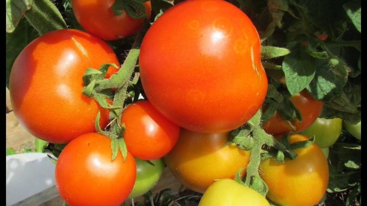 Отличный выбор для всех огородников: томат красная шапочка