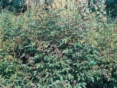 Описание сортов дикорастущей мяты: лесная, полевая, луговая, где растет в природе