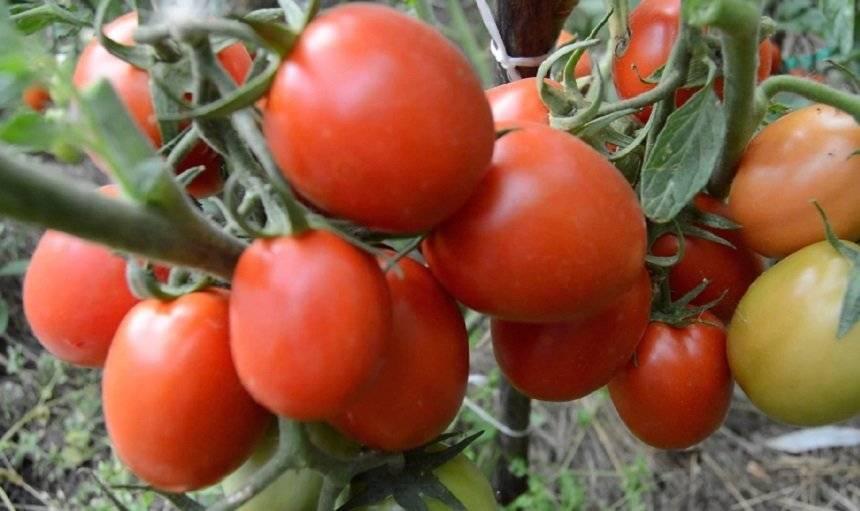 Карликовые сорта томатов не требующие пасынкования