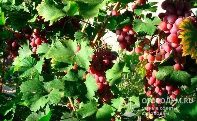 Слива виктория описание и фото — сад и огород